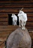 Ziege und das Kind Lizenzfreies Stockfoto