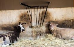 Ziege und ein Schaf entspannen sich Stockfotos
