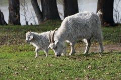 Ziege und Kind Lizenzfreies Stockfoto
