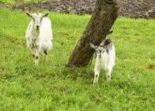 Ziege und Kinder Lizenzfreies Stockfoto