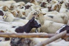 Ziege und Schafe Lizenzfreies Stockfoto