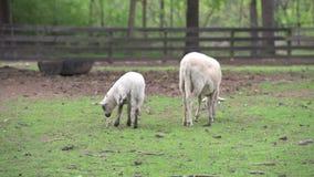 Ziege und Schafe im Garten stock video