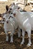 Ziege und sein Kind auf Alpaka bewirtschaften nahe Mizpe Ramon Israel 2017 Lizenzfreie Stockbilder