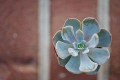 Ziegelstein Succulent Stockbild