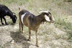 Ziegen auf Bauernhof Stockbild