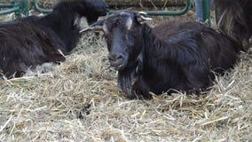 Ziegen auf dem Bauernhof, Abschluss oben stock video footage