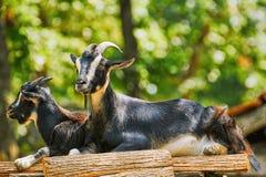 Ziegen auf dem Stapel des Holzes Stockfotografie