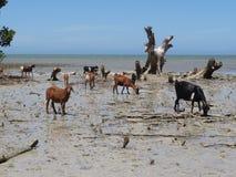 Ziegen auf dem Strand in Madagaskar Lizenzfreie Stockbilder