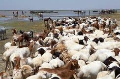 Ziegen auf den Banken des afrikanischen Sees Stockbild
