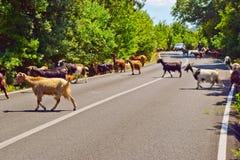 Ziegen auf der Straße Lizenzfreie Stockfotografie
