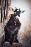 Ziegen auf einem Bauernhof Stockfotografie