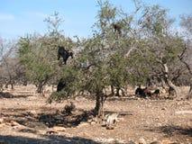 Ziegen auf einem Baum Stockfotos
