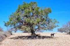 Ziegen auf einem Baum Stockbild
