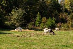 Ziegen auf einem Gebiet stockfoto