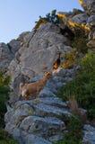 Ziegen auf Zakynthos-Insel, Griechenland stockbilder