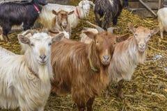 Ziegen am Bauernhof stockfotos