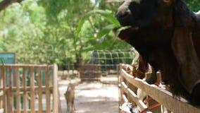 Ziegen bedecken die Fütterung mit Gras stock video