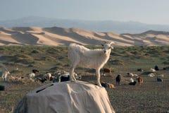 Ziegen in der Gobi-Wüste von Mongolei stockbild