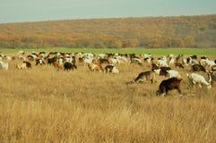 Ziegen in der Landschaft, Rumänien Stockbilder