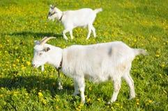 Ziegen in der Weide Stockfoto