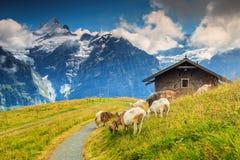 Ziegen, die auf dem alpinen grünen Feld, Grindelwald, die Schweiz, Europa weiden lassen Lizenzfreie Stockfotografie
