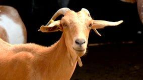 Ziegen, die auf einem Bauernhof (4K, stillstehen) stock video footage