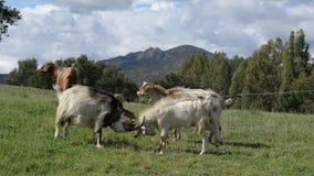 Ziegen, die in der Landschaft kämpfen stock video footage