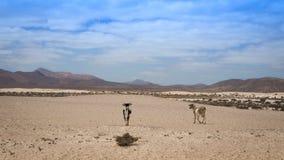 Ziegen, die in die Wüste gehen Stockbild