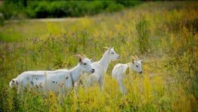 Ziegen, die draußen weiden lassen Lizenzfreie Stockfotos