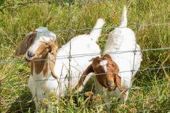 Ziegen, die durch Zaun essen Stockbild