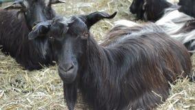 Ziegen, die in einem Bauernhof stillstehen stock video