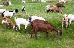 Ziegen, die Gras essen Stockfotos