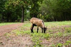 Ziegen, die Gras essen Lizenzfreie Stockfotografie