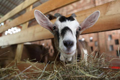 Ziegen, die Heu auf dem Bauernhof essen Stockfotografie