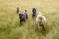 Ziegen, die in hohes Gras an einem Sommertag gehen Lizenzfreie Stockfotografie