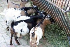 Ziegen, die Stroh essen Stockbild