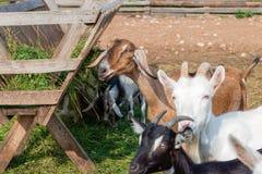 Ziegen, die Zufuhr auf einem Bauernhof essen Lizenzfreies Stockfoto