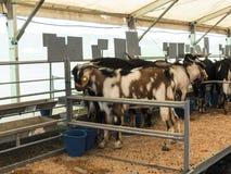 Ziegen an einem Viehmarkt Stockbilder