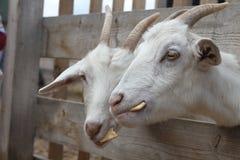 Ziegen essen Plätzchen Russisches inländisches gehörntes Säugetier lizenzfreie stockfotografie