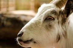 Ziegen-Gesichts-weißer Profil-Abschluss herauf das Porträt horizontal Lizenzfreie Stockfotos