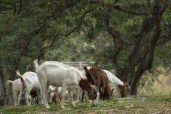 Ziegen im Bauernhof Lizenzfreies Stockbild