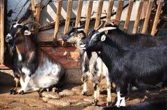 Ziegen im Bauernhof stockbild