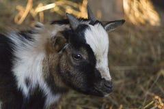 Ziegen im Bauernhof Lizenzfreies Stockfoto