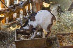 Ziegen im Bauernhof Stockfotografie