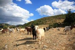 Ziegen im Bauernhof Stockfotos