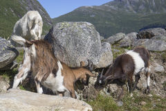 Ziegen im Berg, Herdals Bauernhof, Norwegen Lizenzfreies Stockfoto