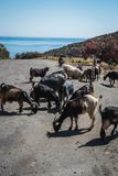 Ziegen in Kreta Stockfotos