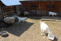 Ziegen und Schafe Stockfotografie