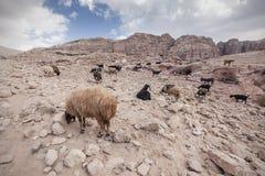Ziegen und Schafe in der Wüste Stockbilder