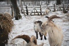 Ziegen und Schafe in der Weide Stockfotos